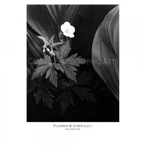 Flower-N-Corn-Lily