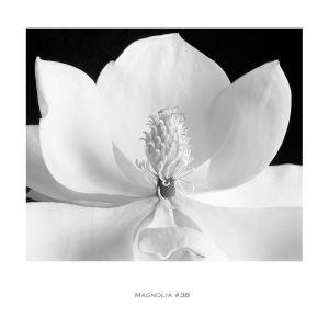Magnolia 38