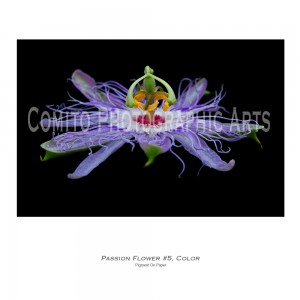 Passion-Flower-5,-Color (1)