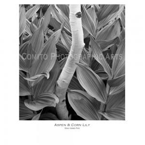 Aspen--Corn-Lily-copy