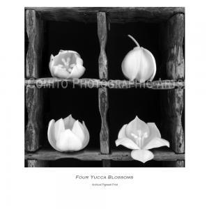 Four Yucca Blossoms