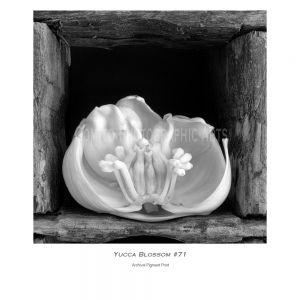 Yucca Blossom 71